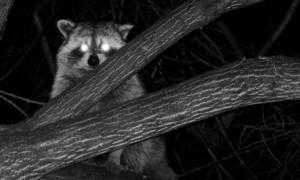 hunting-raccoon-at-night